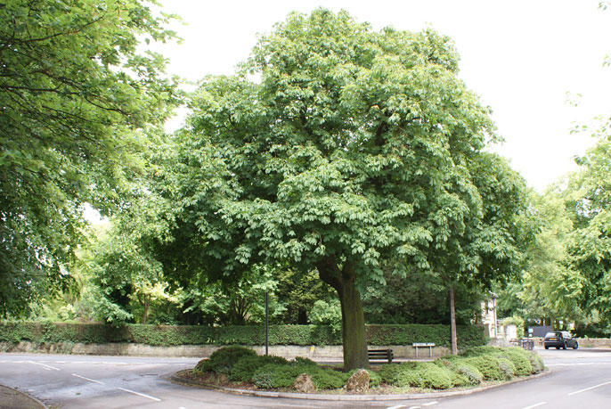 Horse Chestnut Recognised As One Of 50 Great British Trees